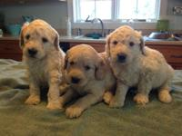 We have a lovely trash of standard F1B goldendoodle