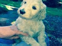 beautiful f1b goldendoodle puppies 3 males one cream,