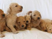 F1b Goldendoodles. This is a fine litter of F1b