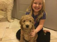 We have gorgeous teddy bear multi-generation doodles
