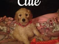 F1b Goldendoodle puppies. Medium standard size. Will