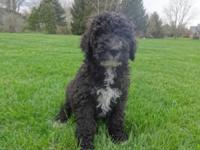 CKC registered MALE F1B labradoodle is my last puppy