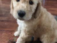 F1B Male Labradoodle. He has a dark green collar on.