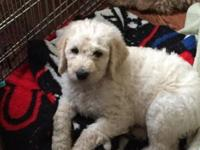 Daisy: F1B Labradoodle her coat is very soft and curls
