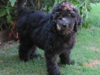 3 month old F1b female labradoodle. 3/4 standard