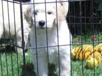 9 week old male F1b labradoodle Puppy vaccinations utd,