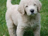 F1b Labradoodle puppies. The mother is F1 Labradoodle