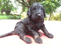 We have 4 F1B puppies left out of our litter waiting