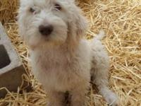 We have 3 beautiful labradoodle puppies left out of a