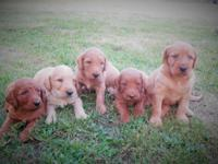 F1b Labradoodle Puppies! Family raised and health