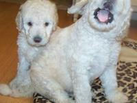 Dam: Daisy (1st Generation creamy white Labradoodle)