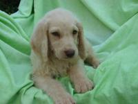 End of Summer Sale! F1b Cream Labradoodle. Much shorter