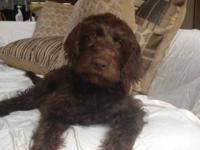 We will be having beautiful F1B labradoodle puppies in