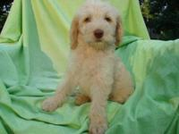 F1b Cream Labradoodles. Liver noses there are 2 liver