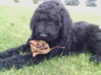 F1b black Labradoodle puppies. Family raised, curly,