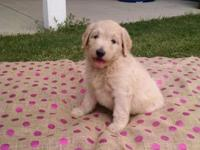 F 1b Labradoodle puppys family raised blonde and