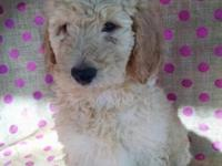 F 1b Labradoodle puppys family raised black and apricot
