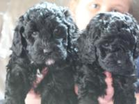I have 1 beautiful mini golden doodle puppy Left. He is
