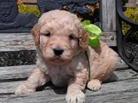F1B Mini Goldendoodle puppies due June 15, 2013. Mother