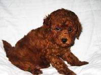 Sparky is a gorgeous deep red f1b mini goldendoodle.