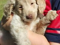 Adorable 9 week old male goldendoodle for sale. Shots