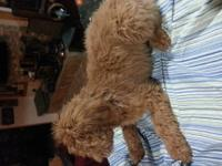 F1b Goldendoode Puppies Male and Female Red Apricot and