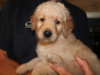 F1b Rare Silver/ Black Goldendoodle Puppies ~2 males/1