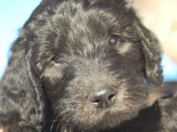 F1b Rare Silver/ Black Goldendoodles ~4 males