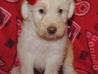 ACA registered F1B Labradoodles. These sweet babies