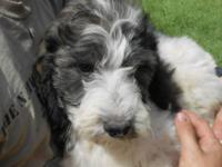 EXTREMELY CUTE F1B SPRINGERDOODLE PUPS. Black and