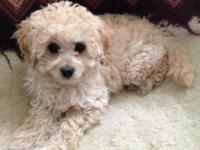 Apricot colored Toy Goldendoodle Female For Sale. Ready