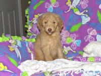 I have 3 precious F1B labradoodle puppies ready to find