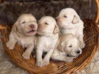 Healthy, Happy Labradoodles! check out our website -