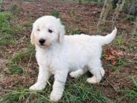F1B Mini English Cream Goldendoodle Puppies from