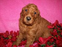 My female goldendoodle is having a litter in Oct. All