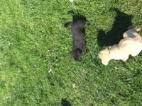 three black labradoodle puppies. Lowest price ever. No