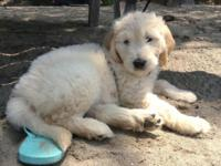 I have a beautiful female f1 goldendoodle puppy. She is