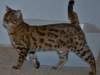 Zesty is a Very Sweet TICA Registered F2 Bengal cat She