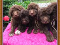 I have a litter of Doubledoodle puppies that were born