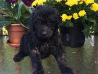 I have a litter of standard size DOUBLEDOODLE puppies