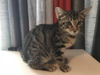 Beautiful F2 female kitten available. She is 11 weeks