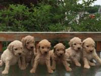 I have a litter of F2 Goldendoodles that were born May