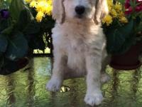 I have a litter of Labradoodle puppies that were born