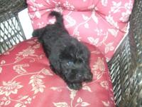 Beautiful black F2 mini labradoodle male. Prepared to