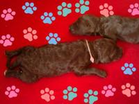 Adorable labradoodle puppies born 11/5/13 Ready for