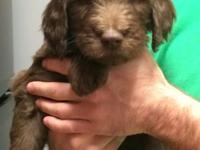 I have 2 8 week old chocolate male labradoodles for