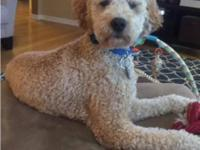We have a 16 month old Male F2B Mini-Goldendoodle named