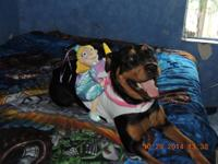 We have a female FULL BLOODED Rottweiler. Spoiled, and