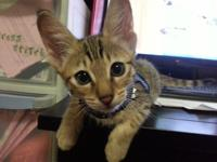 F3 savannah male kitten for sale.11 weeks old. have