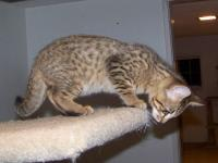 Dad is a registered SBT Savannah Cat from Hannah